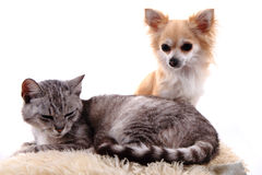 Cat and chihuahua are resting Stock Photos
