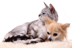 Cat and chihuahua are resting Royalty Free Stock Photos