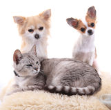 Cat and chihuahua are resting Stock Photography