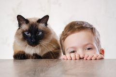 Cat child balinese together play. animal cute. Cat child balinese together play kid happy. animal cute royalty free stock images