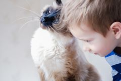 Cat child balinese together play. care companion. Cat child balinese together play kid happy. care companion royalty free stock images