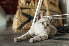 Cat Chilling em Wat Arun Temple fotografia de stock