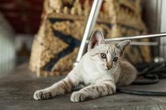 Cat Chilling en Wat Arun Temple fotografía de archivo