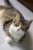 Cat Chilling Eyed amarelo no assoalho fotografia de stock royalty free