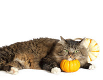 Cat With Chin on Pumpkin. A brown tabby cat with green eyes with his chin propped on miniature pumpkin and another decorative pumpkin in background Royalty Free Stock Photography