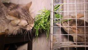 Cat and chinchilla stock video