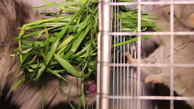 Cat and chinchilla stock footage