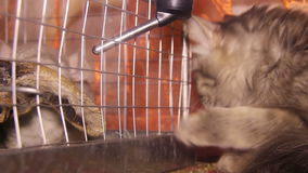 Cat and chinchilla. Chinchilla drink water in the cage and cat try play with chinchilla stock video footage