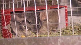 Cat and chinchilla. Cat look at the chinchillas sitting in the cage stock video footage