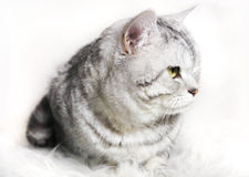 Cat chinchilla  striped tabby profile. Portrait of a cat with g. Reen eyes Stock Photography