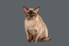 Cat. Chocolate Burmese cat of gray background Royalty Free Stock Photography