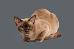 Cat. Chocolate Burmese cat of gray background Royalty Free Stock Images