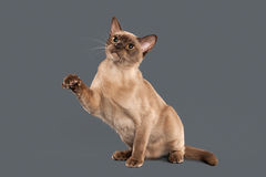 Cat. Chocolate Burmese cat of gray background Royalty Free Stock Image