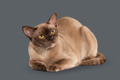 Cat. Chocolate Burmese cat of gray background Stock Photo