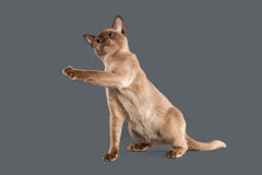 Cat. Chocolate Burmese cat of gray background Stock Images