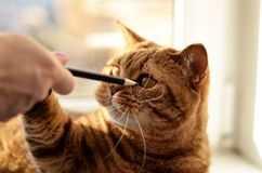 A cat and her favorite pencils royalty free stock photos