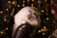 Cat. Christmans party, winter holidays cat with gift box. New ye Royalty Free Stock Photo