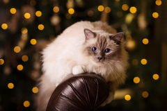 Cat. Christmans party, winter holidays cat with gift box. New ye Stock Image