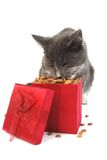 Cat Christmas. Grey cat eating food out of a Christmas gift box Royalty Free Stock Photo