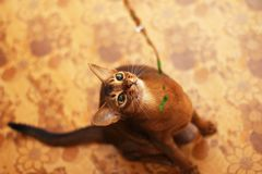 Cat and Christmas. Abyssinian cat looks at the shiny ribbon. stock photos