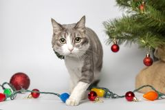 Cat with christmas balls in studio royalty free stock images