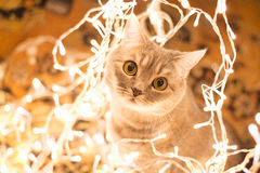 Cat in the Christmas garland Royalty Free Stock Photos