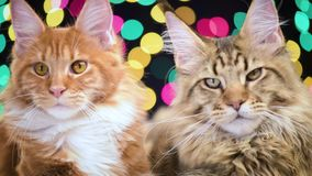 Cat with Christmas garland. Funny Maine coon cats move head back and forth. Adorable kittens with color garland for New Year. Beautiful kitty is looking stock video footage