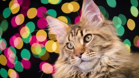 Cat with Christmas garland. Portrait of black tabby Maine Coon kitten - 5 months old. Funny young cat on bokeh background of Christmas lights. Kitty with color stock video footage