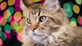 Cat with Christmas garland. Portrait of black tabby Maine Coon kitten - 5 months old. Funny young cat on bokeh background of Christmas lights. Kitty with color stock footage