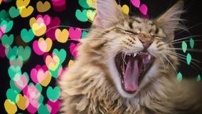 Cat with Christmas garland. Portrait of black tabby Maine Coon kitten - 5 months old. Funny young cat yawning on bokeh background of Christmas lights. Kitty with stock video footage