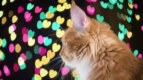 Cat with Christmas garland. Portrait of red Maine Coon kitten - 8 months old. Funny young cat on bokeh background of Christmas lights. Curious orange kitty with stock video footage