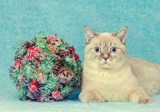 Cat with Christmas kissing bough. Cat with Christmas decoration kissing bough on blue blanket Royalty Free Stock Images