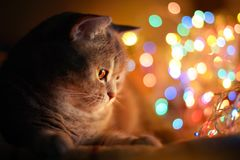 Cat and Christmas lights Stock Images