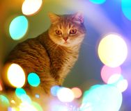 Cat and Christmas lights Stock Image