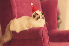Cat. Christmas party, winter holidays cat with gift box. New year cat. christmas tree in interior Stock Photo