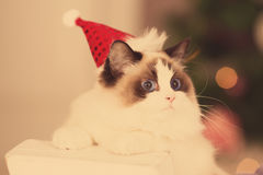 Cat. Christmas party, winter holidays cat with gift box. New year cat. christmas tree in interior Stock Images
