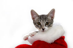 Cat in a Christmas stocking Royalty Free Stock Photos