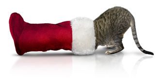 Cat in Christmas stocking. A tabby cat with its head in a red Christmas stocking. Banner for Christmas celebration stock photography