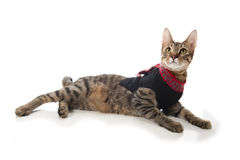 Cat in a Christmas Sweater Stock Images