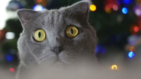 Cat in Christmas toys and garlands stock video