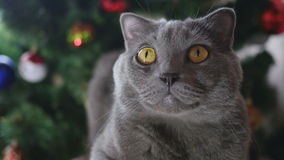 Cat in Christmas toys and garlands stock video footage