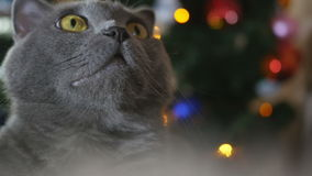 Cat in Christmas toys and garlands. Cat of the British breed gray sitting at the Christmas tree stock video