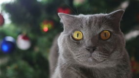 Cat in Christmas toys and garlands. Cat of the British breed gray sitting at the Christmas tree stock video footage