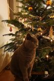 Cat in front of a Christmas tree royalty free stock photography