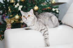Cat and the Christmas tree Royalty Free Stock Images