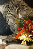 Cat with Christmas Tree Toy Royalty Free Stock Photo