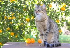 Cat in citrus orchard. A tabby cat sitting on a table in a citrus orchard royalty free stock image