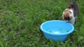 Cat with claw catch fish in blue bowl. Successful fishing of cat stock footage