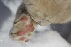Cat cleaning snow from its paw. A white cat cleaning the snow from its paw. Winter scene Royalty Free Stock Photo