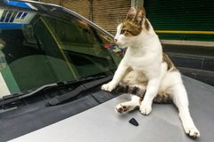 Cat climb on car can damage paint with paws claws Royalty Free Stock Photography